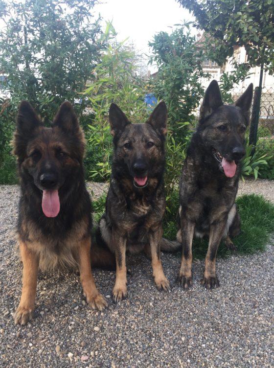 Retrouvaille avec I'Dean , Justy et Toga de la cité des loups gris (Bergers Allemands de travail