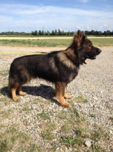 Information cité des loups gris, élevage bergers allemands 68 Wittenheim Alsace