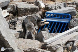 Quelques photos récentes , des loups gris au travail et au repos après l'effort !! Avec Plume (I'Dean/Dinoso) Meika ( India/Fauny) Gachette (India/Havane) Lorie (Eika/Havane) Phidjee (I'Dean/Dinoso) Outch (India/Havane) Phalco (I'Dean/Dinoso) M'Brennus (India/Fauny) Maia (Justy / Iron ) Merci à tous pour le partage de vos aventures ?