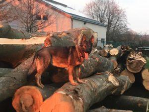 Un Joyeux anniversaire à la portée de l'elevage de bergers allemands de la cité des loups gris 68 Wittenheim Alsace