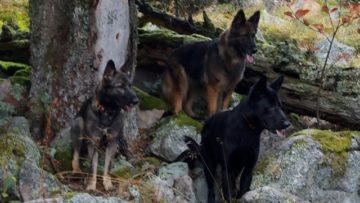 09 / 2020 La Cité des Loups Gris en randonnée sur Youtube :