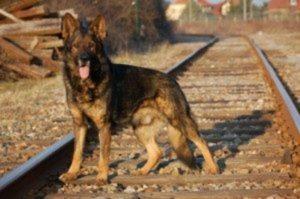 Souvenir avec le chien de ma vie et celui qui est à la base de l'élevage La Cité des Loups Gris Quelques années pour construire cette base et tellement de souvenirs ....... Vidocq de Valsory ☺️?
