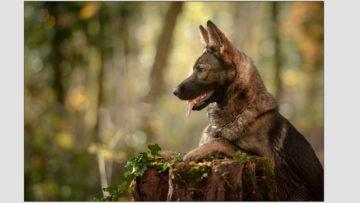 12 2020 Ora, berger allemand gris, de la cité des loups gris