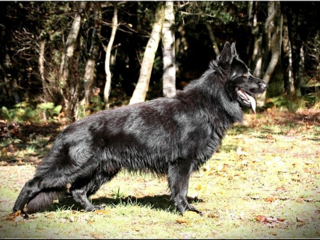 J'ai le plaisir de vous présenter un mariage qui à été réalisé chez mon ami Jean-Yves avec l'aide de Laurence , l'éleveuse des Loups de Varnagile et propriétaire de Iwolf Une portée qui naitra sous l'affixe de La Cité des Loups Gris Un cadeau de la Vie , un espoir avec l'une des rare fille de mon Iron du Val d'Auzon , associée à un très bon et bel étalon Iwolf . Maia de la Cité des Loups Gris HD, ED fait lecture en cours , ADN, MD +/+ , Csau (Justy de la Cité des Loups Gris / Iron du Val d'Auzon ) et Iwolf des Loups de Varnagile HDAA , EDAA , ADN , MD +/+ , Csau ,TAU , KKL , Ring 1, RCACS (Flame du Glaive Noir / Buffalo Bill Von Tjarnshaget ) La gestation est confirmée , une option femelle faite .